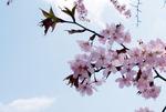 1704 sakura.jpgのサムネイル画像