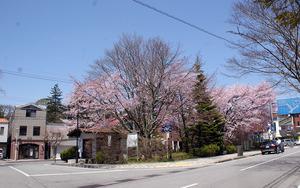 2005 sakura.jpg